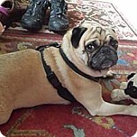 Adopt A Pet :: Ayden - Huntingdon Valley, PA