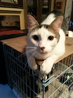 American Shorthair Cat for adoption in Salem, Oregon - Popeye