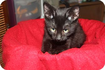Domestic Mediumhair Kitten for adoption in tampa, Florida - Graham KITTEN