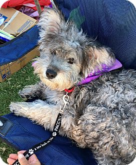 Schnauzer (Standard)/Norfolk Terrier Mix Dog for adoption in Scottsdale, Arizona - Cameron