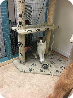 Domestic Longhair Kitten for adoption in DeRidder, Louisiana - Oh No!