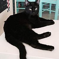 Domestic Shorthair Cat for adoption in Virginia Beach, Virginia - Amythyst