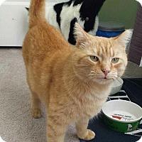 Adopt A Pet :: Blondie - Plainfield, CT