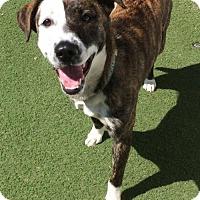 Adopt A Pet :: Bella - Newport Beach, CA