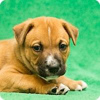 Adopt A Pet :: Gucci - Houston, TX