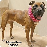 Adopt A Pet :: 158530 Mama Bear - San Antonio, TX