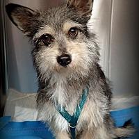 Adopt A Pet :: Walter - Gilbert, AZ