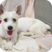 Jack Russell Terrier/Schnauzer (Standard) Mix Dog for adoption in Madison, New Jersey - Snowy