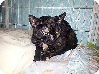 Domestic Shorthair Cat for adoption in Iroquois, Illinois - Savannah