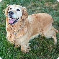 Adopt A Pet :: Dixie - Denver, CO
