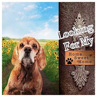 Cocker Spaniel Dog for adoption in Scottsdale, Arizona - Charlie