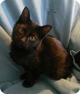 Domestic Shorthair Kitten for adoption in Attalla, Alabama - Bo
