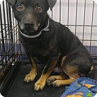 Adopt A Pet :: Brutus - Batavia, OH