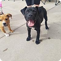 Adopt A Pet :: Blitzen - Wichita Falls, TX