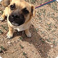 Adopt A Pet :: Handsome - Westminster, CO