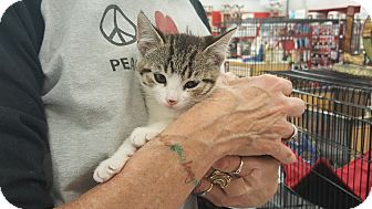 Domestic Shorthair Kitten for adoption in Monrovia, California - Dot