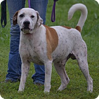 Pointer Mix Dog for adoption in Lebanon, Missouri - Yoda