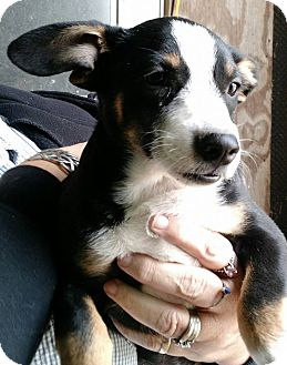 Corgi/Beagle Mix Puppy for adoption in Macomb, Illinois - Shel