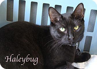 Domestic Shorthair Kitten for adoption in Bradenton, Florida - Haleybug