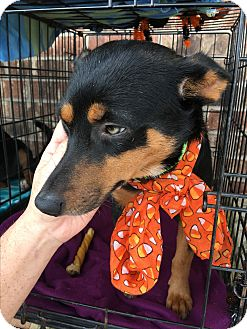 Chihuahua/Manchester Terrier Mix Dog for adoption in springtown, Texas - Buttercup