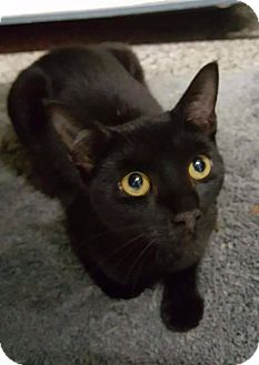 Domestic Shorthair Cat for adoption in Freeport, New York - Pippin
