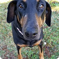 Adopt A Pet :: Bella D - Gainesville, FL