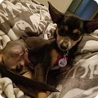 Adopt A Pet :: falcon - Goodyear, AZ