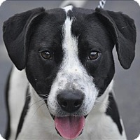 Adopt A Pet :: Shadow - Osage Beach, MO
