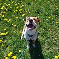 Adopt A Pet :: Callie - Winfield, PA