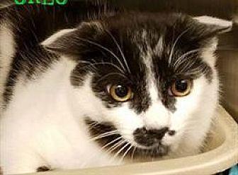 Domestic Shorthair Kitten for adoption in Herndon, Virginia - Cory