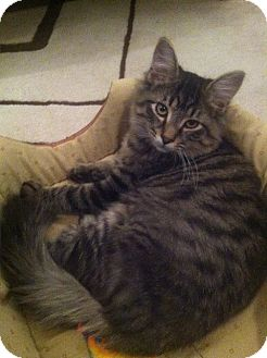 Maine Coon Cat for adoption in Arlington, Virginia - Hunter (& Freddy)