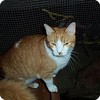 Domestic Shorthair Cat for adoption in Houston, Texas - Indy