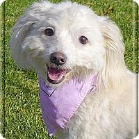 Adopt A Pet :: Sugar looking for new mom - Sacramento, CA