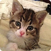 Adopt A Pet :: Bo - Reston, VA