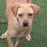 Adopt A Pet :: GINGER - San Pablo, CA