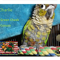 Adopt A Pet :: Charlie green Cheek Conure - Vancouver, WA