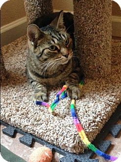Domestic Shorthair Cat for adoption in Phoenix, Arizona - Tabby