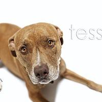 Adopt A Pet :: Tessa-ADOPT Me! - Redondo Beach, CA