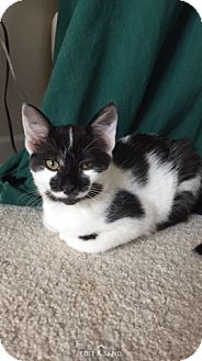 Domestic Shorthair Kitten for adoption in Middleton, Wisconsin - Raccoon