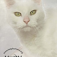 Adopt A Pet :: Little Miss - Belton, MO