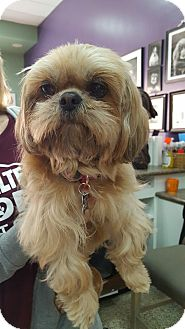 Shih Tzu Mix Dog for adoption in Thousand Oaks, California - Brenda Lee