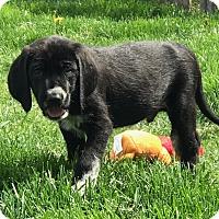 Hound (Unknown Type)/Great Pyrenees Mix Puppy for adoption in Overland Park, Kansas - Stevie