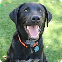 Adopt A Pet :: Hank Jr. - Litchfield Park, AZ