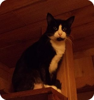 Domestic Shorthair Cat for adoption in Witter, Arkansas - Silver the talking cat