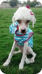Poodle (Standard)/Maltese Mix Dog for adoption in Las Vegas, Nevada - Sunny