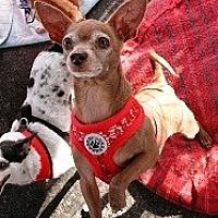 Chihuahua Mix Dog for adoption in Mesa, Arizona - Maggie