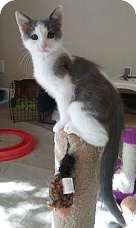Domestic Shorthair Kitten for adoption in North Highlands, California - Vulcan