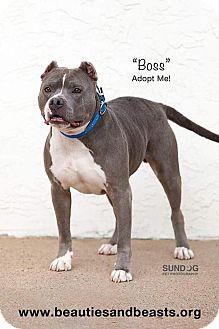 American Pit Bull Terrier Mix Dog for adoption in Wichita, Kansas - Boss