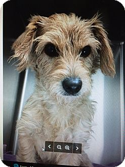 Cairn Terrier Mix Dog for adoption in Lancaster, Pennsylvania - Scruffy