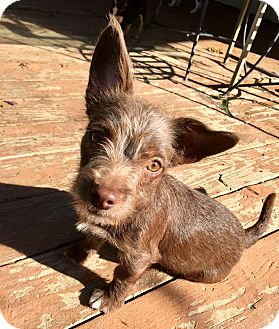 Cairn Terrier/Dachshund Mix Puppy for adoption in Santa Ana, California - Juliet
